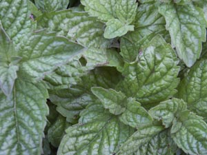 Click here to go to my Plant Collection pages. This is 'Grapefruit' mint